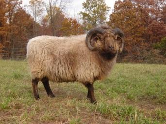 Abijah, Shetland ram.