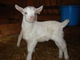 Saanen goat kid.