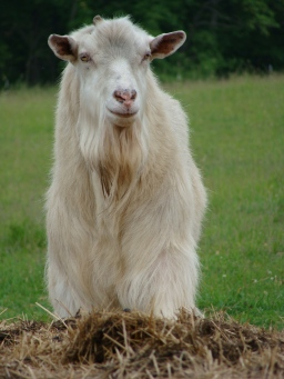 Willoughby, a Saanen dairy goat.