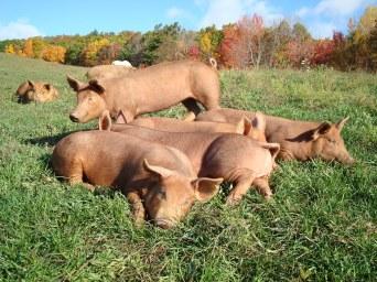 Tamworth hogs on pasture.