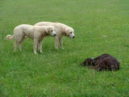 Young canines learning about young bovines.