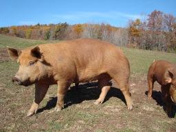 Tamworth boar.