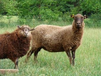 Shetland ewe and lamb.