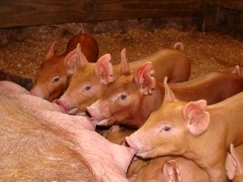Tamworth piglets.