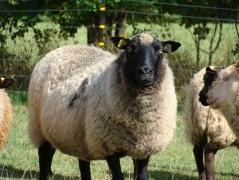 Shetland ewe.