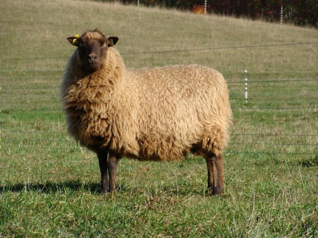 Moorit (brown) Shetland ewe.