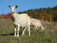 Saanen cross dairy goat.