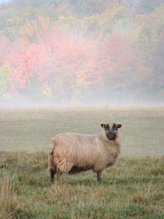 Shetland ewe on fall pasture.