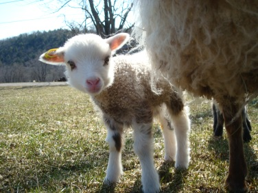 Shetland cross lamb.