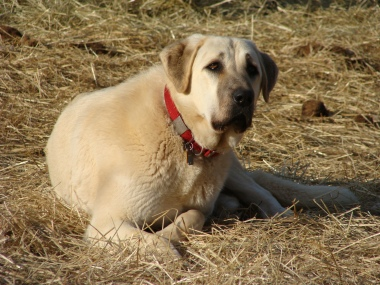 Anatolian shepherd on guard.