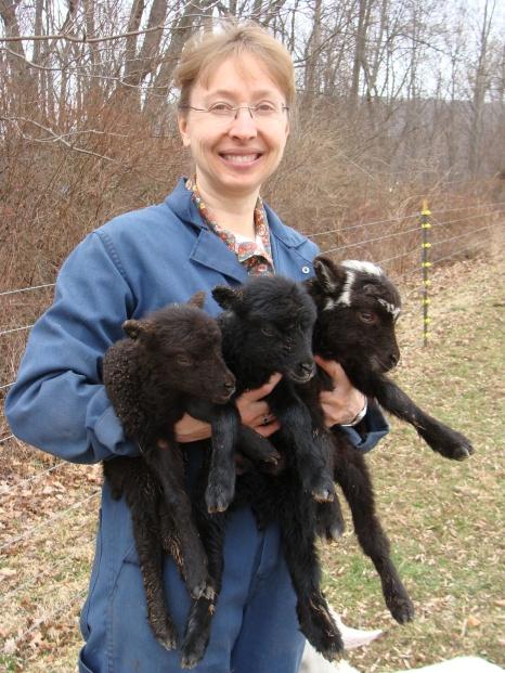Shetland triplet lambs.