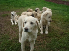 Anatolian Shepherd puppies.