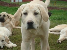Anatolian Shepherd puppy.