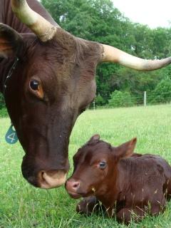 Milking Devon cow and calf.