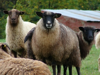 Shetland and cross ewes.