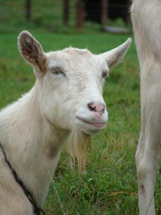 Saanen dairy goat.