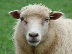 Shetland cross ewe.