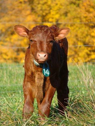 Milking Devon calf.