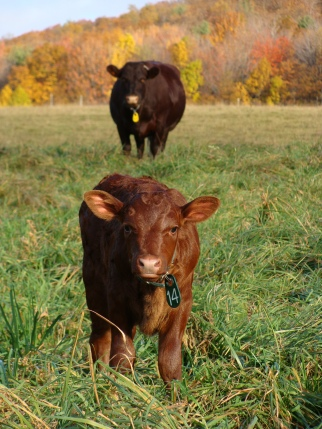Milking Devon calf and cow.