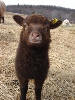 Curious Shetland lamb.