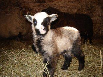 Shetland ram lamb.