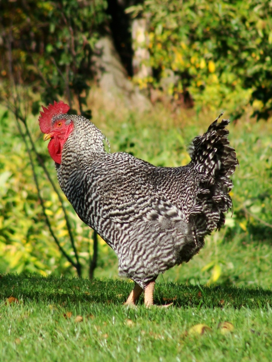 Barred Rock rooster.