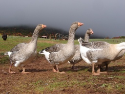 Toulouse geese on pasture.