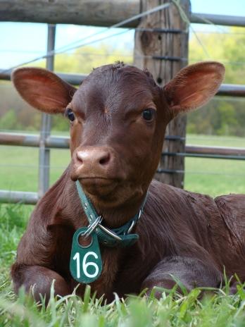 Felicity, Milking Devon calf.