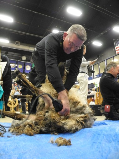 Jack begins to finish the job of shearing.