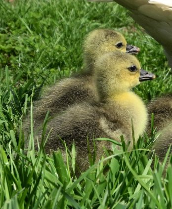 Toulouse goslings.