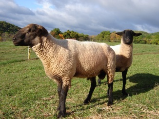 Julio, suffolk cross ram.