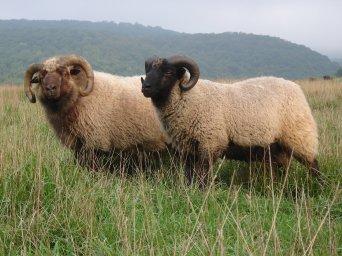 Shetland rams.