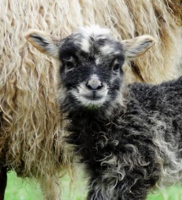 lamb2a