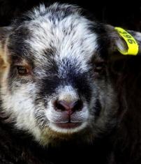 Zinnia's ewe at 11 days http://wp.me/p1yRFa-ZV