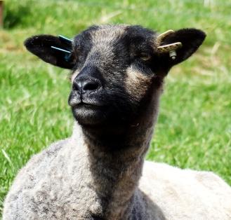 Shetland sheep http://wp.me/p1yRFa-10S