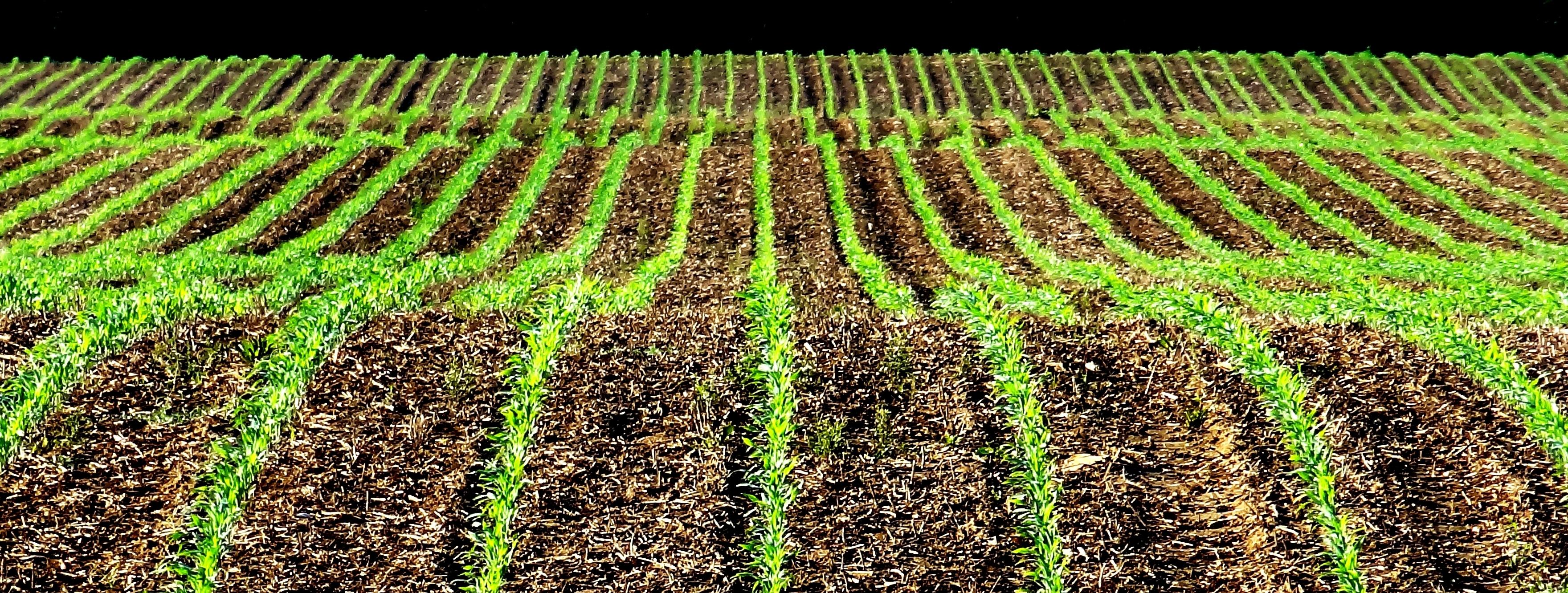 Corn rows | Pairodox