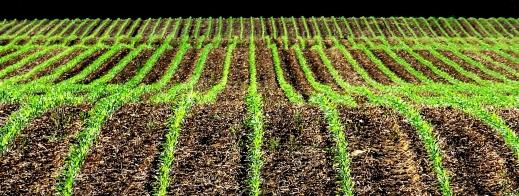 Corn rows http://wp.me/p1yRFa-1io