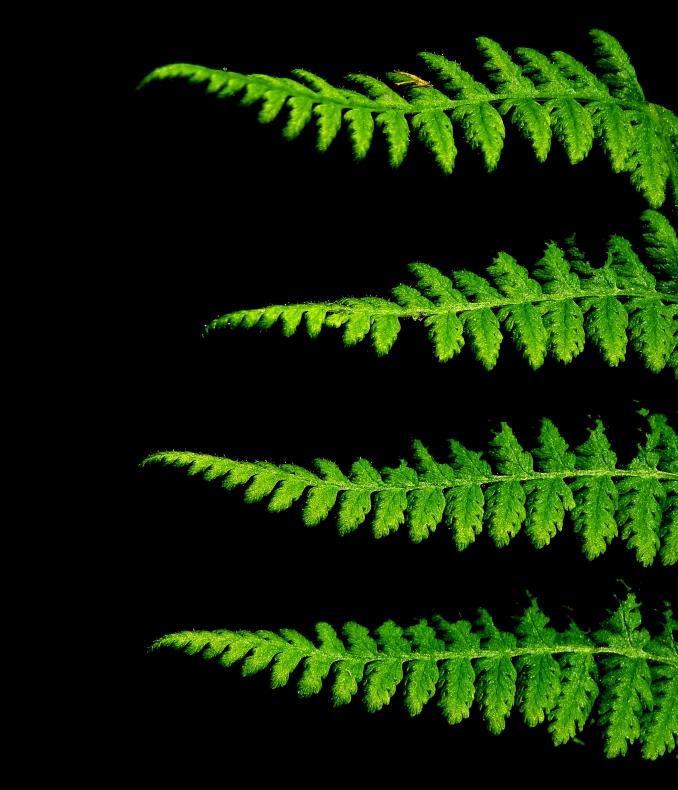 Fern http://wp.me/s1yRFa-fern