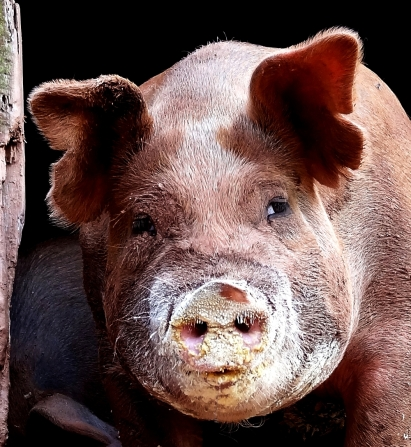 Pig update, http://wp.me/p1yRFa-1LL