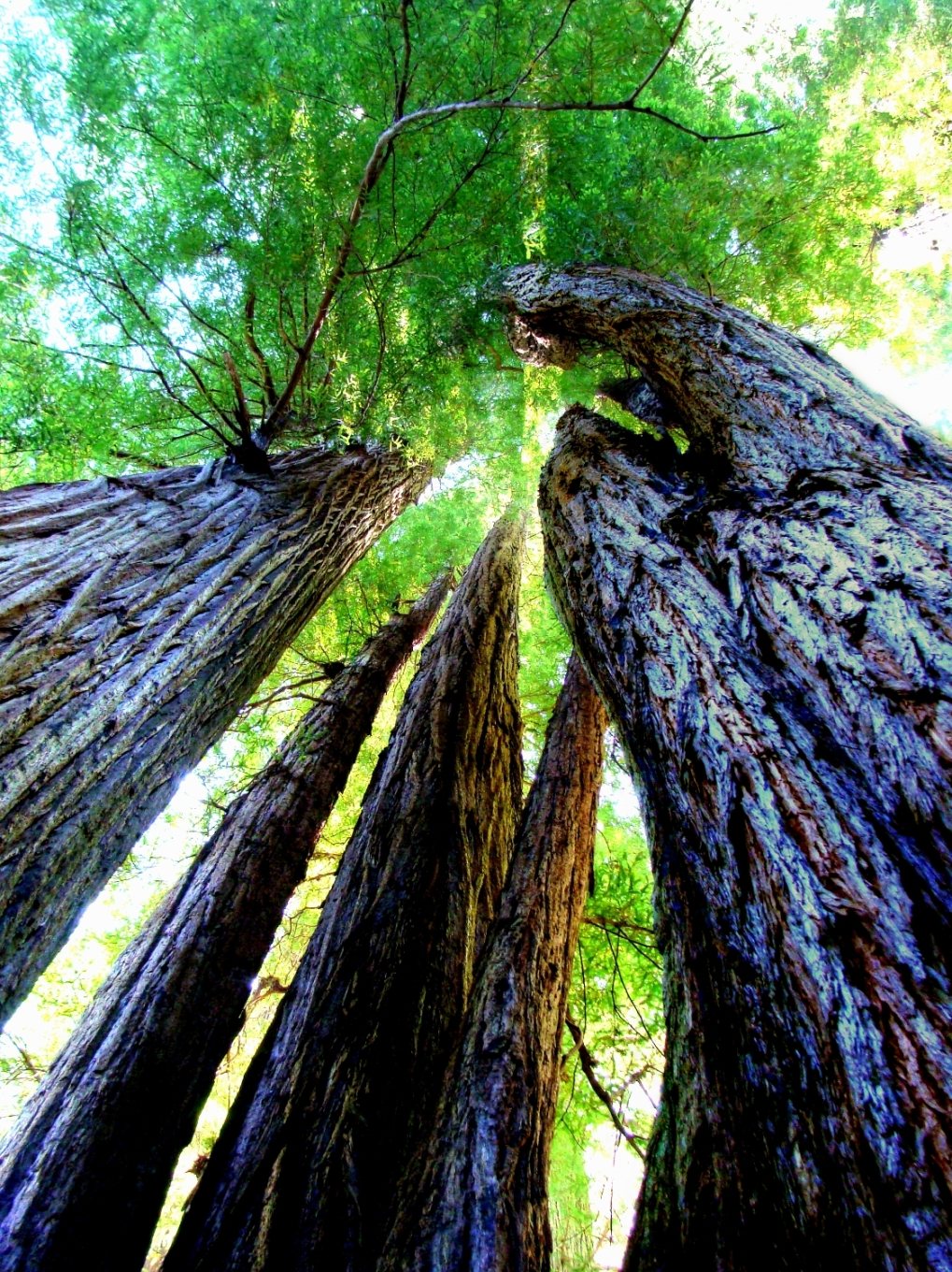 Sequoia sempervirens, http://wp.me/p1yRFa-29a