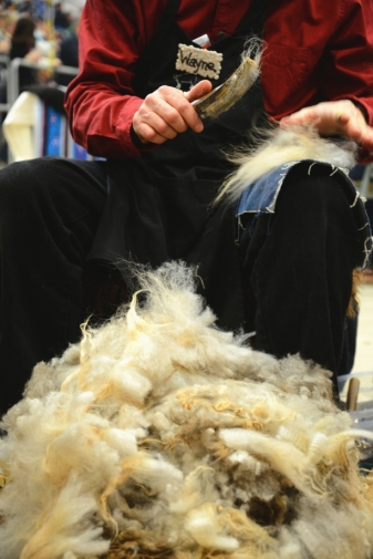 After shearing, the raw fleece is carded ...