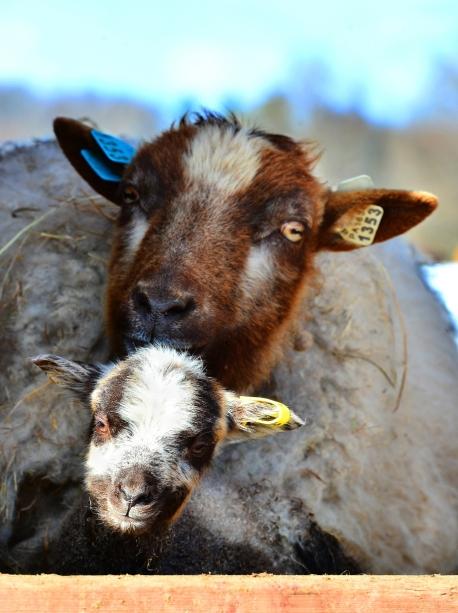 lamb2small