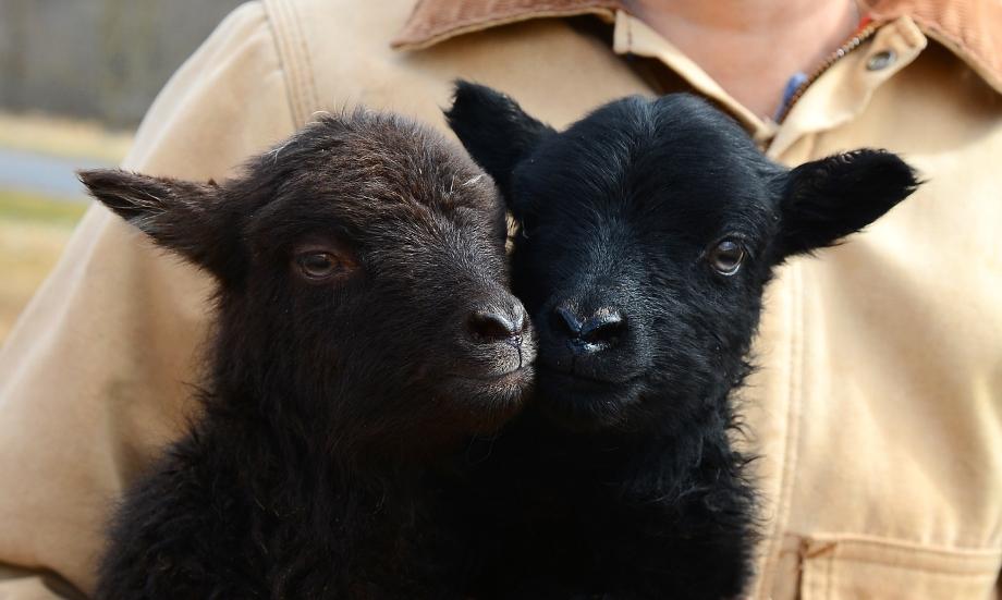 lambs2smaller