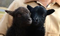 Like a lamb, http://wp.me/p1yRFa-2Oc