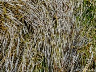 Wheat field, http://wp.me/p1yRFa-3hj