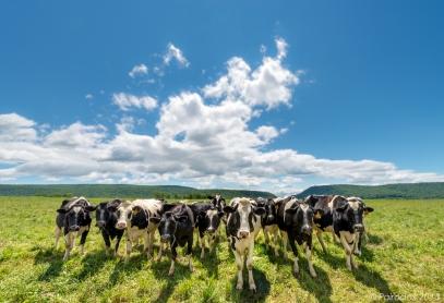 Fresh heifers http://wp.me/p1yRFa-3n1