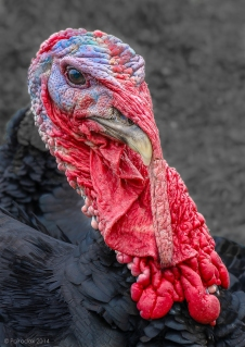 Talking turkey, http://wp.me/p1yRFa-45P