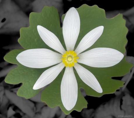 Sanguinaria, http://wp.me/p1yRFa-4cS