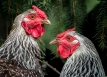 Fowl behavior, http://wp.me/p1yRFa-4iw