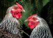 Fowl behavior, http://wp.me/p1yRFa-4iw